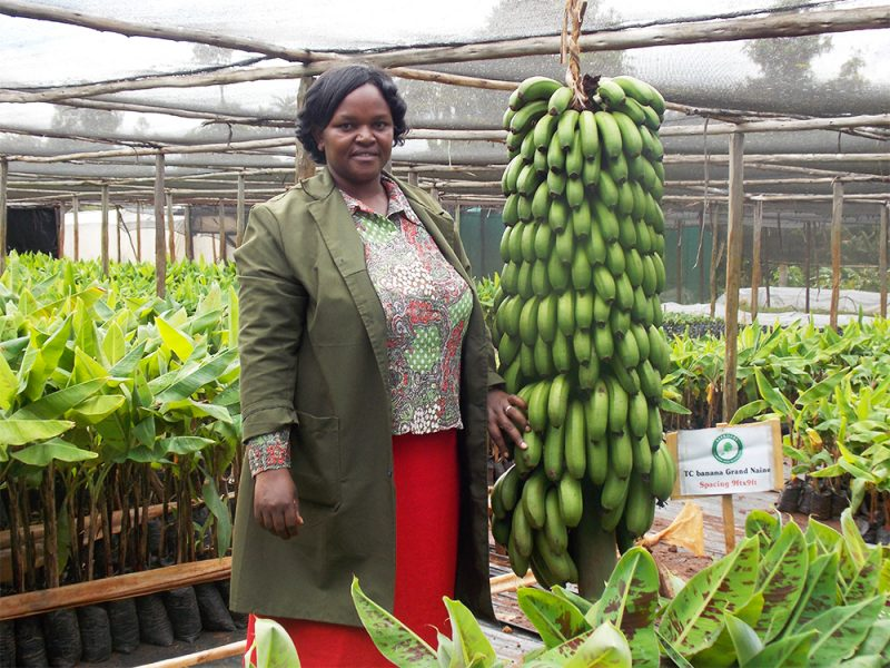 Tissue Culture Banana Earns Farmer Double Income Compared To Traditional Varieties